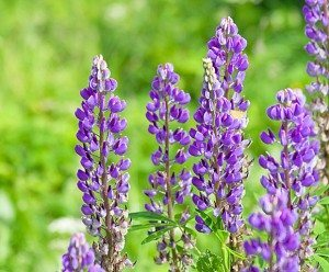 blue mountain lupine