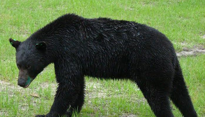 30A South Walton black bear released Bears in South Walton: What You Need to Know