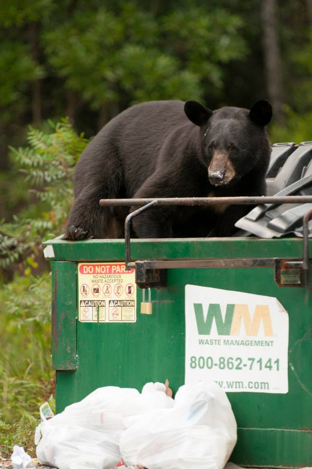 VIE Magazine spotted this bear dumpster diving in Grayton Beach. (Photo: Troy Ruprecht)