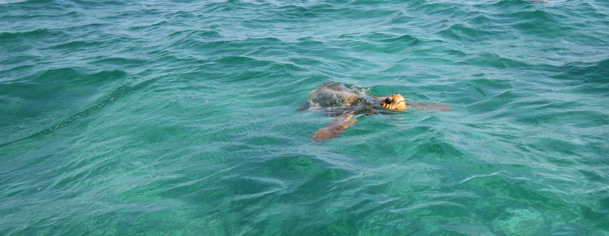 A Loggerhead sea turtle. Photo by Walter Rodriguez