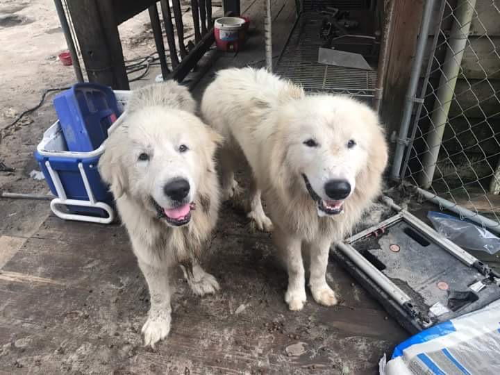 Over 70 Great Pyrenees Rescued From Hoarding Conditions 30a