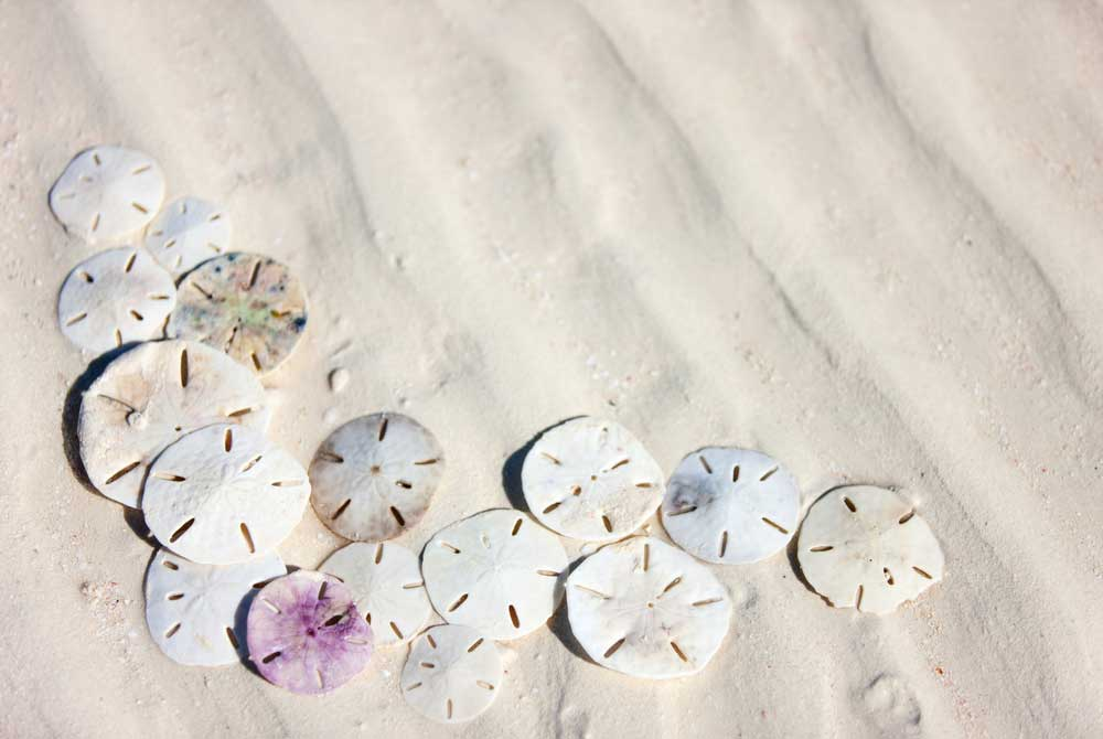 Sand Dollars What You Need To Know 30a