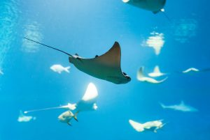 Meet the Rays Living in the Gulf of Mexico