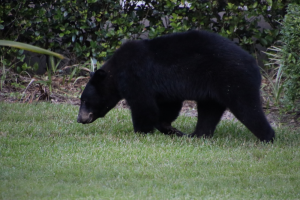 Bears in South Walton: What You Need to Know