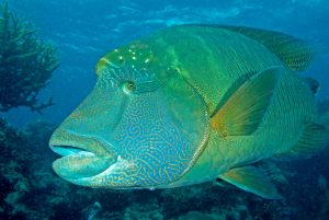 Meet the Incredibly Odd Humphead Wrasse