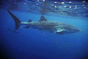 8 Cool Facts About Whale Sharks