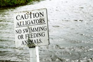 Florida Alligators: 8 Things You Didn't Know