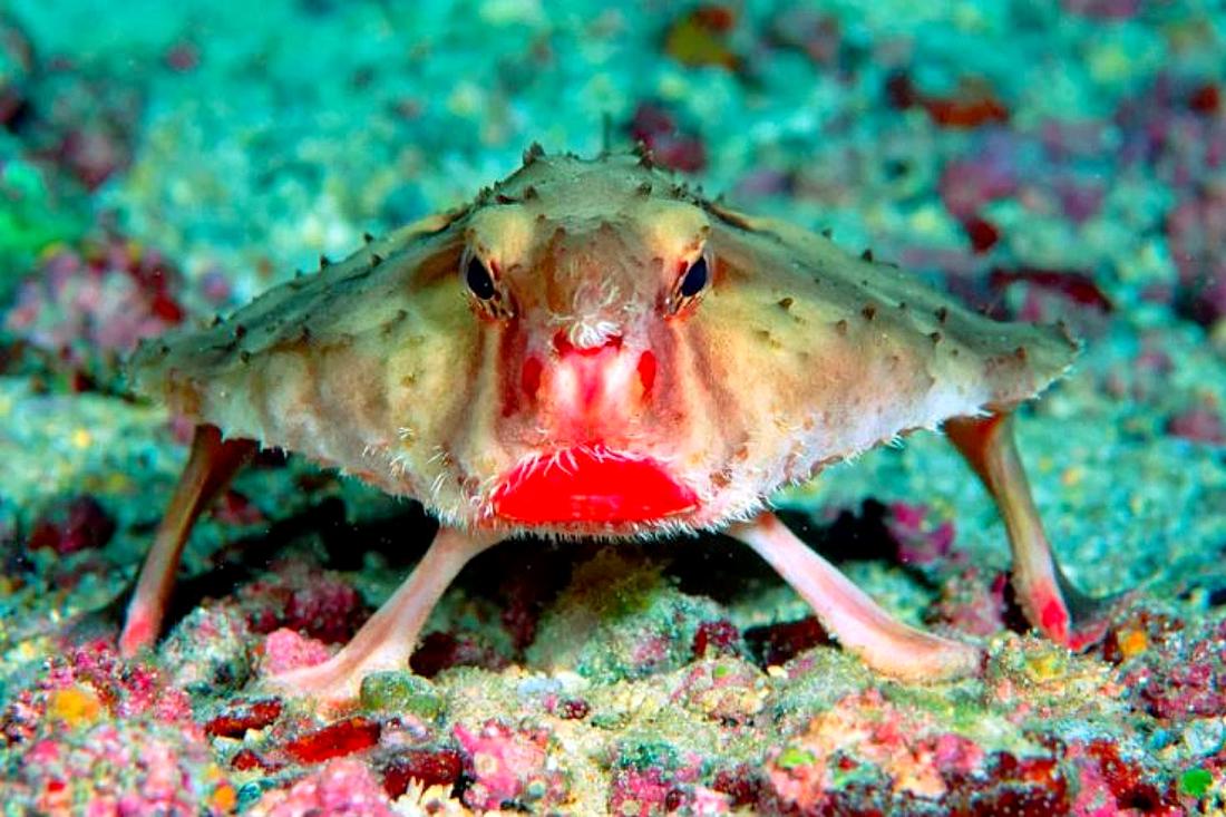 The Red-Lipped Batfish