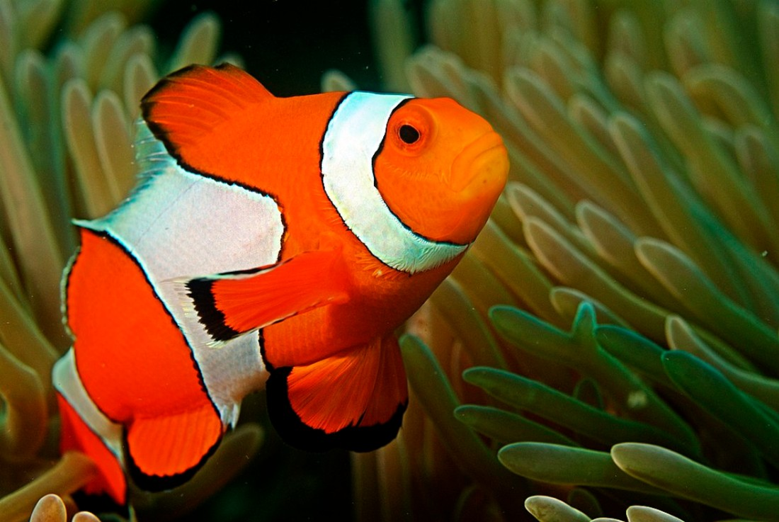 Clownfish in the Andaman Coral Reef. Photo credit: Wikipedia