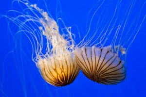 Meet the Jellyfish of the Gulf of Mexico