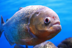 Sink Your Teeth into These 10 Piranha Facts